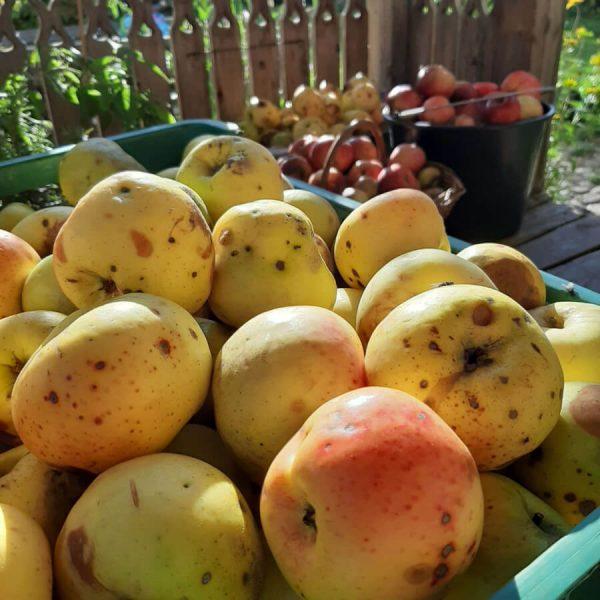 Dojrzałe jabłka w skrzyni na tle drewnianej ozdobnej balustrady ganku