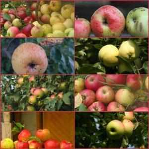 Kolaż zdjęć jabłek różnych gatunków