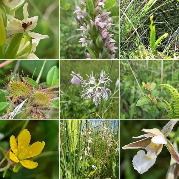 Kolaż zdjęć przedstawiających rzadkie i chronione gatunki roślin doliny Biebrzy